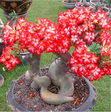 5 PCS/BAG Rare red Desert Rose Seeds Balcony Bonsai Ornamental Flowers Adenium obesum Seeds Absorption of Formaldehyde