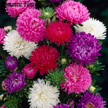50Particle/bagChinese Aster Seeds(Callistephus)Give You A Garden Full Of Bright Summer Big Flowers Orginal Package Free Shipping