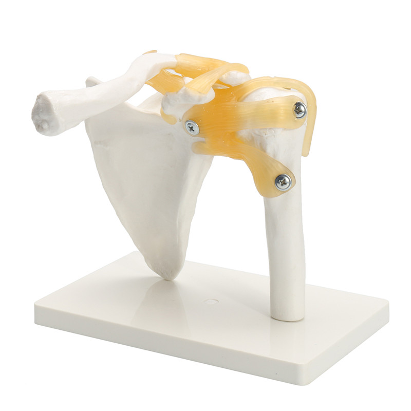 Life Size Anatomical Functional Human Shoulder Joint Teachi ng Flexible Model<br>