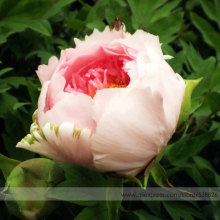 Heirloom Light Pink Rose Red Tree Peony 'Qiu Ball' Flower Seeds, Professional Pack, 5 Seeds / Pack, Strong Fragrant Flower NF741