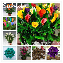 1 Bulbs Multi-Color Beautiful Calla Flower Calla Lily Bulbs Symbolizes Love Elegant Noble Flower Attractive Light Up Your Garden