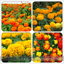 Mixed Chrysanthemum Seeds Perennial Flowering Rose Pink Orange Yellow Red Marigold Seeds Long Lasting Blooming Flowers 200 Seeds