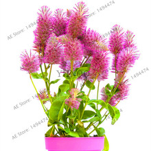 Rare Australia foxtail flower seeds,easy to grow,beautiful flower ,bonsai plant for home garden,200pcs/packs