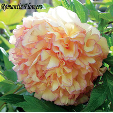Rare Family Heirloom Golden Peony Garden Seeds, 10 Seeds / Bag, Very Beautiful Flowers