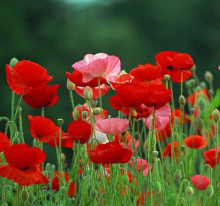 Free shipping 100 pcs Red Poppy flower seeds Iceland poppy seed Li Chunhua seeds For Home Garden