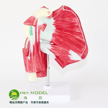 Shoulder Muscle tendon model Muscle Anatomical Model free shipping