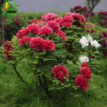 'Hot Fire' Red Wrinkled Peony Tree Seeds, 5 Seeds, Professional Pack, big blooming compact fragrant flowers  E3513