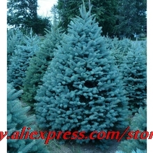 High Quality 100 Pcs Colorado Blue Spruce Tree Seeds Picea Tree Potted Bonsai Courtyard Garden Bonsai Plant Pine Tree Rare Seeds