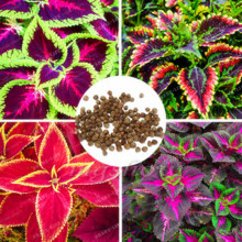 Free Shipping 50PCs Chinese Bonsai Coleus Seeds Mini Foliage Plants Perfect Color Home Grass Pot Planter For Garden Decoration(China)