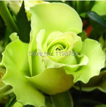 200 PCS 30kinds Beautiful Flower seeds Rainbow rose seed Black Rose Seeds of roses seedlings climbing rose plant