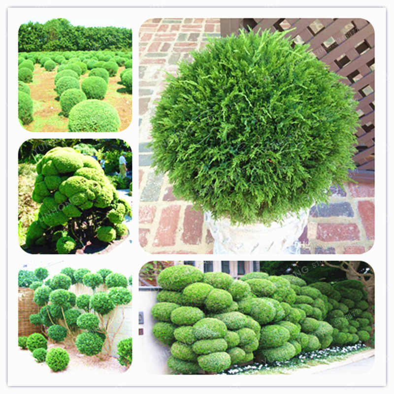 100pcs Vegetables and fruit seeds Aloe vera seeds edible beauty Edible cosmetic Bonsai plants Seeds for home & garden