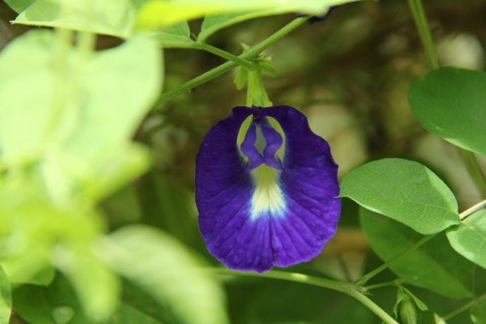 Thé pois papillon ou fleur pois bleu la fleur | oko oko