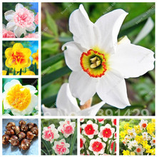 Buy 2 True Narcissus Bulbs, Daffodil Bulbs Bonsai Flower Pond Aquatic Plants Double Petals Absorption Radiation Potted Plant for $2.60 in AliExpress store