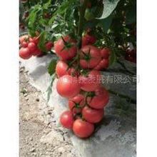 Pink tomato seeds Caramel anti- TY virus 100seed organic vegetables