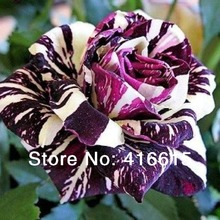 200 Black Dragon Rose Bush Flower Seeds Cream Rose ,Light Fragrance,Novelty Colouring Spotted  Rose Seeds,Plus Mysterious Gift