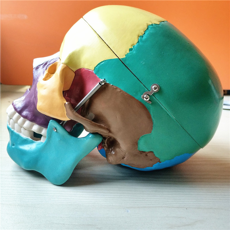 skull model04