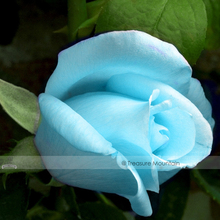 1 Professional Pack, 50 seeds / pack, F1 Light Blue Rose Plant Seed #NF414(China)