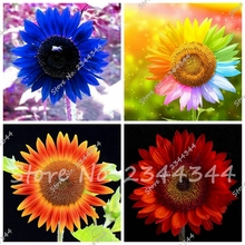 Exotic Rainbow Blue Sunflower Seeds Organic Helianthus Annuus Seeds Ornamental Flower Seed Sunflower Painting 30pcs/bag