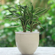 Rare Silver Heart Lucky Bamboo Seeds Absorb Dust Tree Seeds Anti Radiation Dracaena DIY for Home & Garden 60PCS