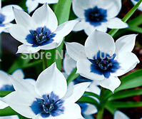 Free Shipping (50 pieces/lot) Gloriosa daisy seed,common callalily,planting seasons, flowering plants(China)