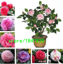 24 Colors Available Many Varieties Camellia Seeds Potted Plants Garden Flower Seeds Camellia Bonsai Tree Seeds 100 PCS / pack