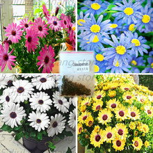 30pcs/bag African rare Blue Eyed Daisy Seeds Osteospermum seeds bonsai Potted Flowering Plants for Home Garden