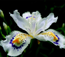 2017 Japanese Iris Japonica Flowers Seeds 100PCS White Iris Orchid seeds Japanese Rare Flower Easy to plant.Garden Home Bonsai