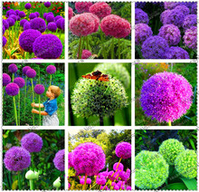 Creative Plant 100pcs Giant Onion Seeds Allium Giganteum Flower Seed Flower Bonsai Plant DIY Home Garden plant Free Shipping(China)