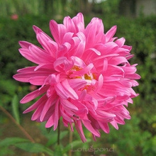 1 Bag 50 Seeds Pink China aster Chinensis Nees Flowers Aroma drift A203