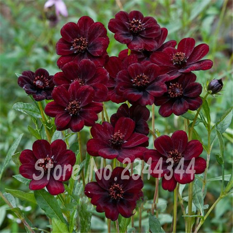 200 Chocolate Cosmos - Blooms all summer long and has rich scent like chocolate, DIY Home Garden flower,Free Shipping(China (Mainland))