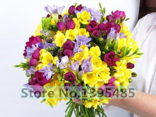 20/bag quality Freesia seeds, Freesia potted seed, freesia flower Balcony and office aerobic potted(China)