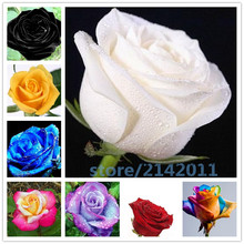 100pcs/bag rose seeds,rose flower seeds,bonsai flower seeds,red blue white black rose Natural growth plants for home garden(China)