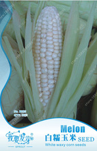 Original Packaging White Corn Seeds White Waxy Corn Biji Nutritious Sweet Zea Mays, Organic Vegetables Fruit Seeds - 12 PCS