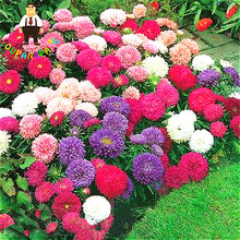 200 PCS aster seeds aster flower bonsai flower and rainbow chrysanthemum seeds Perennial flowers home garden plant