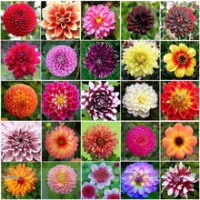Hardy Heat-resisting Different Perennial Dahlia Flower Seeds, Professional Pack, 50 Seeds / Pack, Light Fragrant Garden Bonsai