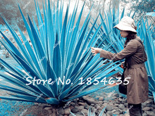 200 Pcs 100% Genuine Rare Agave Seeds Plant Tree Seeds Herbs Flower Seeds Succulent Plant Free Shipping Novel Seed Cactus(China)