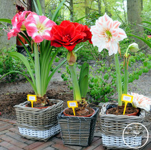 100 pcs/pack,Amaryllis seeds, free shipping cheap Flower seeds, Barbados lily potted seed, Bonsai flower,#0RITCK