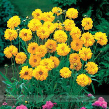 Bonsai Early Sunrise Yellow Coreopsis Flower Seeds, Professional Pack, 20 Seeds / Pack, Light Fragrant Garden Cosmos E3489