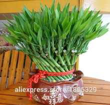 Genuine Rare 50pcs Lucky Bamboo seeds Anti Radiation Absorb dust tree seeds