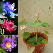Hydroponic Flowers Small Water Lily Seeds Mini Lotus Seeds Bonsai Seeds Set Hydrophyte - 10 pcs Seeds(China)