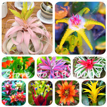 Free Shipping 20 pcs/lot Cactus Bromeliad Seeds Rare Colorful Flower Seeds Courtyard Mini Plant Succulent Bonsai DIY Home Garden(China)