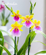 100 Pcs Rare Two-color Red Yellow Orchid Seeds Fragrant Pansy Orchid DIY Home Garden Bonsai Butterfly Orchid Garden Plants(China)