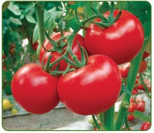 Kelly Pink Tomato Seeds 200 Seeds green vegetable seed