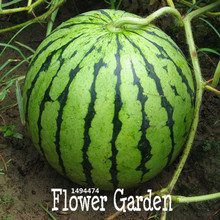 New Fresh 50 Seeds/Pack Common Watermelon Seeds Delicious Chinese Fruit Water Melon Seeds Bonsai Plants Seeds,#FAM4DK