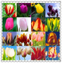 200pcs/bag Tulip seeds hydroponic potted flower seeds,bonsai plant home garden