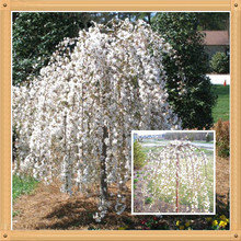 10 White Fountain Weeping Cherry Tree Seeds DIY Home Garden Dwarf Tree Seeds Perennial Free Shipping