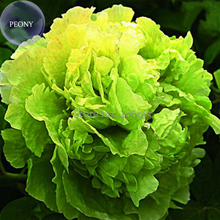 Rare 'Lv Juren' Green Peony Shrub, 5 Seeds, double green flowers with a cluster of ruffled petals E3971(China)