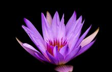 2 seeds / pack, Blue Lotus Flowers Nymphaea Caerulea Asian Water Lily Pad Flower Pond Seeds