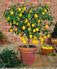 40 rare Lemon Tree Seeds High survival Rate Fruit Seeds For Home Gatden balcony Bonsai plant pot for home garden