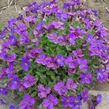 20 seeds/pack cultorum for drought-tolerant rock Little garden Villa Park in a of places Aubrieta seeds Soil bonsai home *